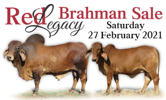 Red Legacy Brahman sale